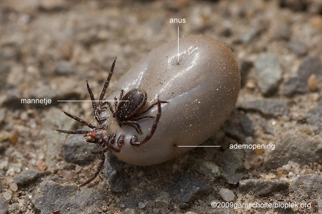 is een teek een insect