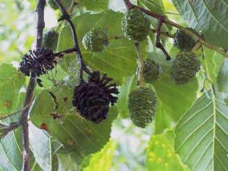 Alnus glutinosa grauwe els zwarte els stopboris Images